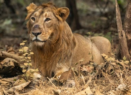The Last Lions Of Asia And Other Wildlife