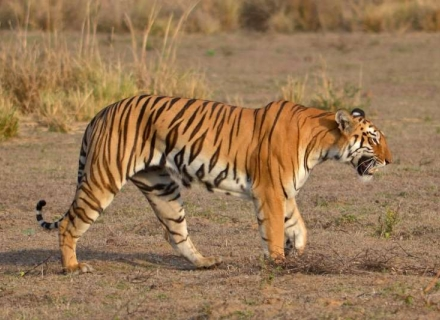 An Introduction to Wildlife of Central India - Kanha, Pench and Satpura