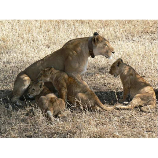 9 Day Lion Conservation Safari