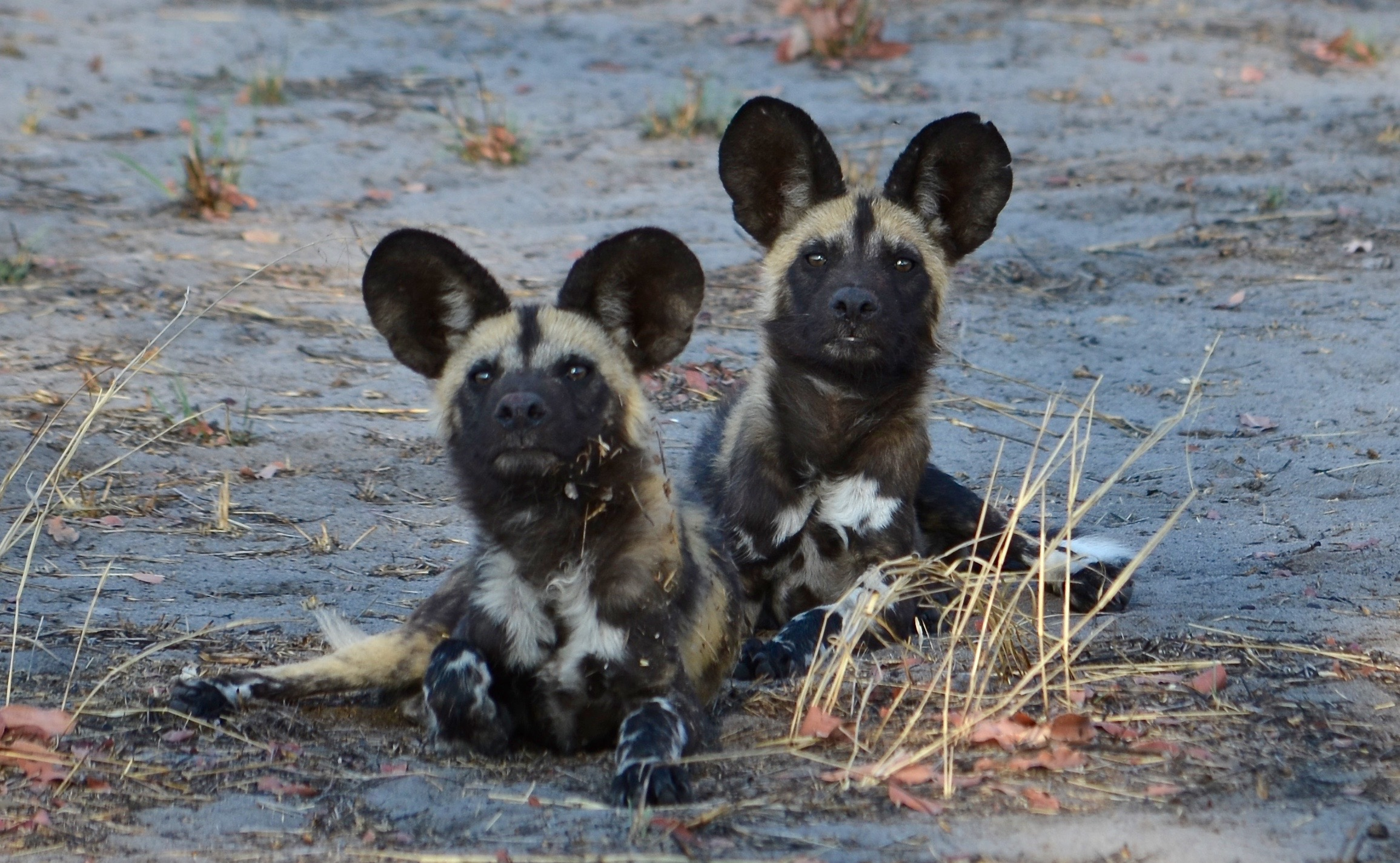Botswana wild dog puppies