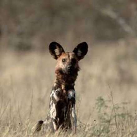 African Wild Dog Safaris