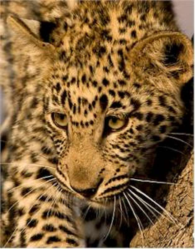 Leopard Conservation Safari