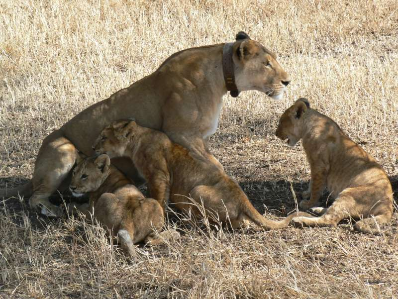 9 Day Lion Conservation Safari - Kenya