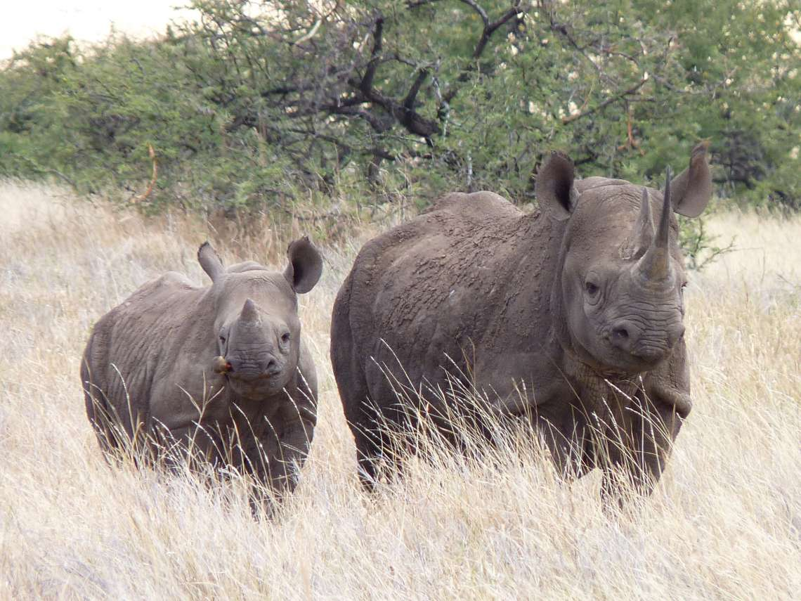 Saruni Rhino Tracking - Sera Conservancy, Samburu