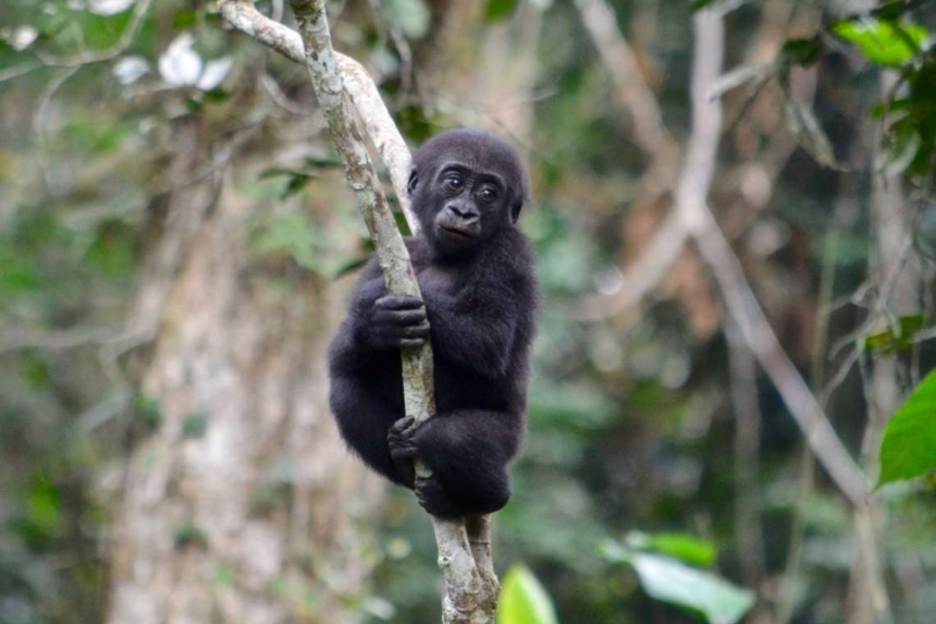 Journey to the Lowland Gorillas - Republic of Congo