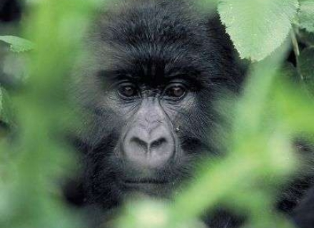 3 Night 'Just Gorillas' in Rwanda