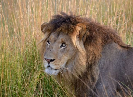 7 Night Kenya Lion Research Safari