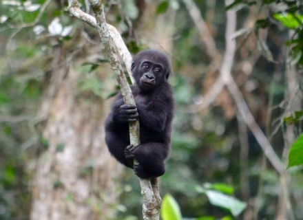 20 Day Lowland Gorillas of Odzala plus Wildlife of Ethiopia