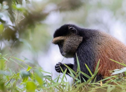 8 Night Gorillas, Golden Monkeys and Chimps in Rwanda and Uganda