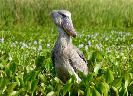 8 Night Small Group Shoebill Safari