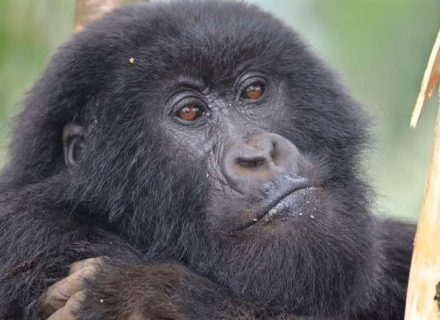 11 Night Uganda and Rwanda Extravaganza with Volcanoes Safaris